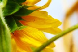 LARGE - Sunflower